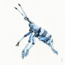 Blue_Weevil_NE_2